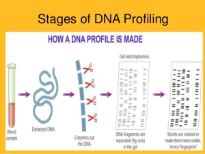 Simple overview of steps in DNA profiling.