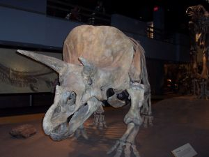 Triceratops from the Cretaceous period.