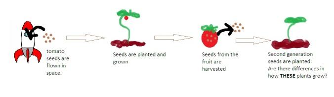 Epigenetic tomato experiment